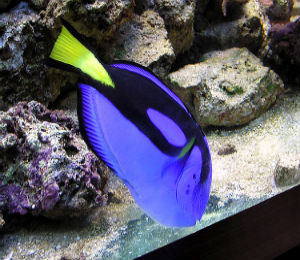 The Blue Tang