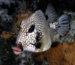 Smooth Trunkfish of Key West